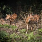 Deer spotted at Bardia National Park safari during 3 night 4 days safari package by North Nepal Travel & Trek