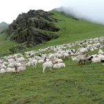 Thula Kharka region with sheeps on the grassland of Dhorpatan Hunting reserve, North Nepal's Dhorpatan Trek with Gurja Khani 10 days package