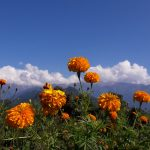 Beautiful flower with cloudy mountain range on the top of hill of Ghandruk on North Nepal's Ghandruk Trek 9 days package